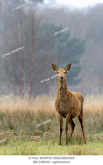 Red deer (Cervus elaphus), female, in grass pasture and woodland, South Wales, United Kingdom, Europe