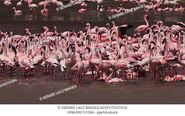 Lesser Flamingo, phoenicopterus minor, Group having Bath, Colony at Bogoria Lake in Kenya, Real Time