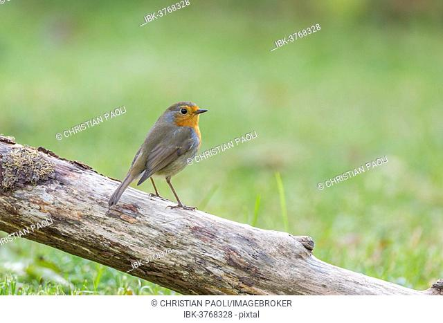European Robin (Erithacus rubecula), Tyrol, Austria