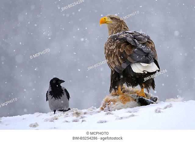 white-tailed sea eagle Haliaeetus albicilla, with a hooded crow at fox cadaver, Norway