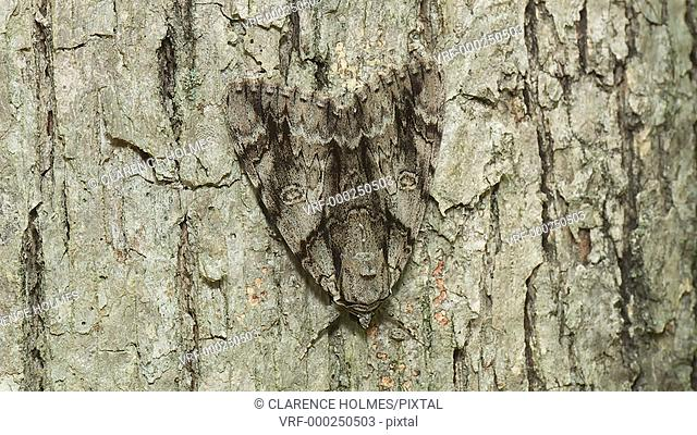 A Yellow-gray Underwing (Catocala retecta) perches on the side of a tree during the day