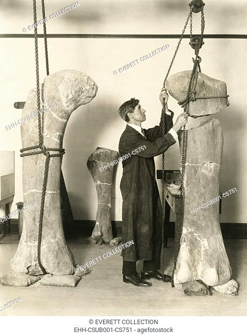 Dr. J. B. Abbott, prepared fossils of dinosaurs thigh bones for public display at the Field Museum. The specimens were found in the San Bernardo Hills of Chubut