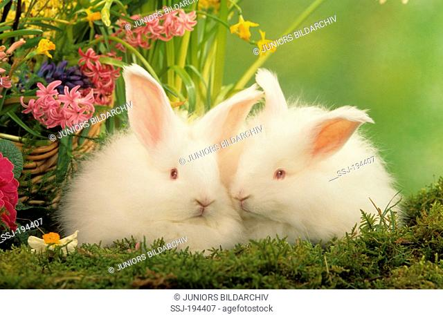 Dwarf Rabbit. Pair of white Angora rabbits on moss next to spring flowers. Studio picture against a white background