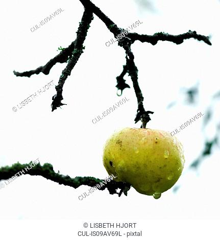 Green apple with water droplet between twigs