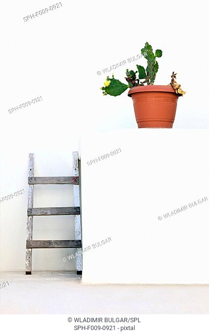 Cactus in plant pot against a white wall with ladders