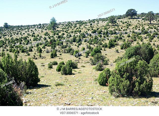 Phoenicean juniper or arar (Juniperus phoenicea) is a shrub native to Mediterranean Basin, Canary Islands and Saudi Arabia Red Sea coast