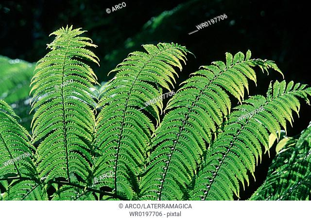 Fern, leaves, Queensland, Australia