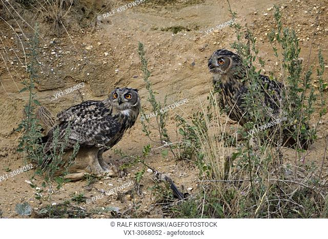 Eurasian Eagle Owl ( Bubo bubo ), perched in the slope of a sand pit, one is holding a piece of prey in its talons, funny situation, wildlife, Europe