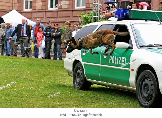 Malinois Canis lupus f. familiaris, police dog jumping out of a police car at a public demonstration in a park