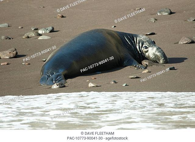 Mexico, Guadalupe Island, Northern elephant seal Mirounga angustirostris