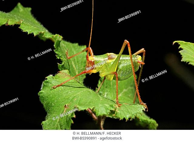 Bushcricket (Barbitistes yersini, Barbitistes dalmatinus), sitting on a leaf