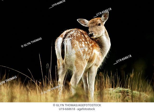 Fallow deer (Dama dama) doe, Bradgate, Leicestershire, England, UK