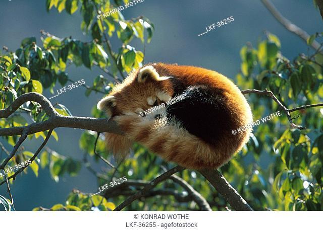 Kleiner Pandabaer, Katzenbaer, Ailurus fulgens, China, Asia