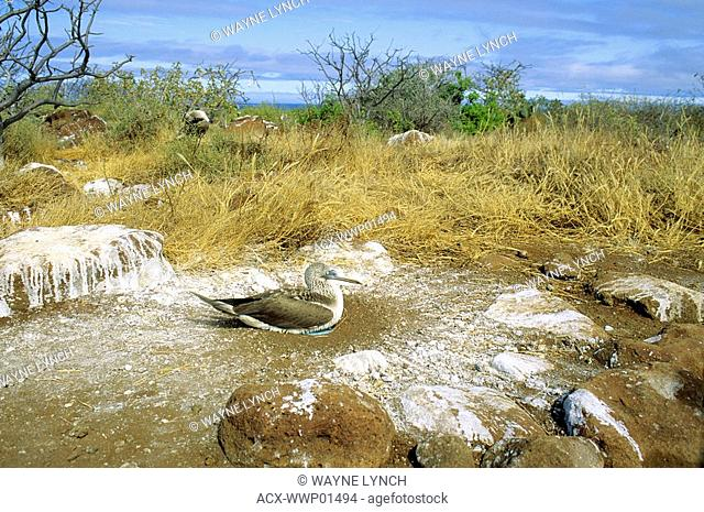 Adult blue-footed booby Sula nebouxii incubating two eggs inside a ring of guano, North Seymour Island, Galapagos Islands, Ecuador