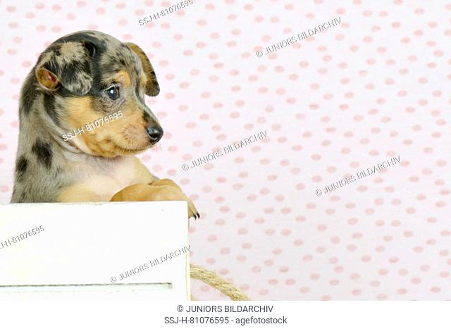German Pinscher. Puppy (8 weeks old) sitting in a white box. Studio picture. Germany