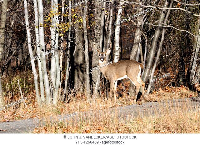A White-tail Deer Buck, Odocoileus virginianus, looking at the viewer from the edge of a wood  Rifle Camp Park, Woodland Park, New Jersey, USA, North America