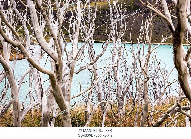 Elevated view through bare trees to lake, Torres del Paine National Park, Chile