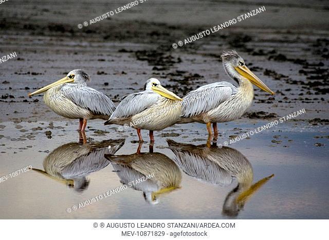 Resting Pelicans - With reflection in water (Pelecanus onocrotalus). Lake Ndutu, Ngorongoro, Tanzania, Africa