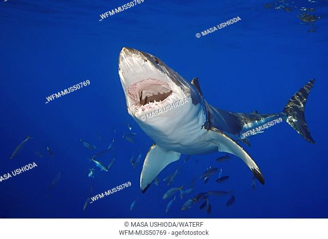 Great White Shark, Carcharodon carcharias, Guadalupe Island, East Pacific Ocean, Mexico