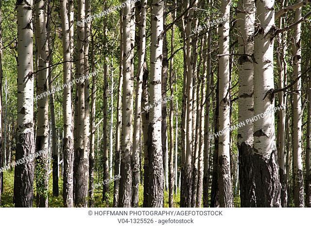 Detail of birch tree trunks, Alberta, Canada