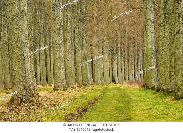 Scotland, Scottish Borders, Liddesdale  Morning St Boswells  Poplar trees growing in the Mertoun Estate near the town of St Boswells