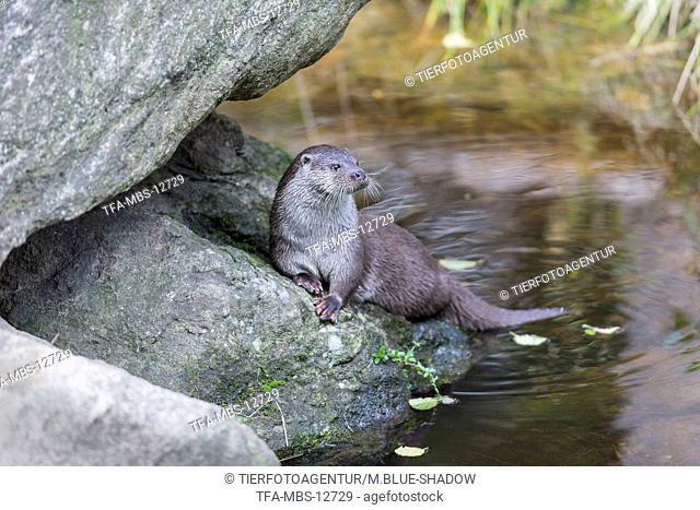common otter