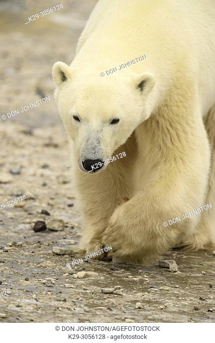Polar Bear (Ursus maritimus) Curious individual approaching, Churchill Wildlife Management Area, Churchill, Manitoba, Canada