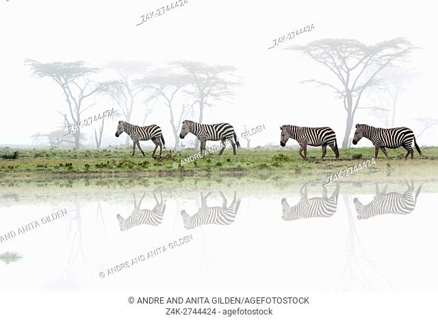Common or plains zebra (Equus quagga) walking on savanna with fog and reflection, Maasai Mara National Reserve, Kenya