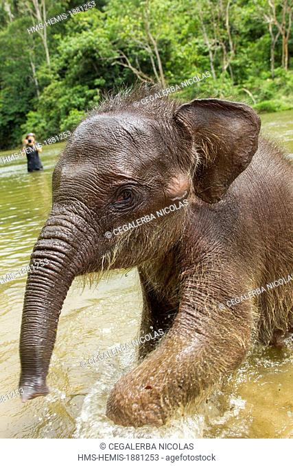 Indonesia, Sumatra Island, Aceh province, Sampoiniet, Baby elephant in water from Conservation Response Unit for the protection of Sumatran elephants