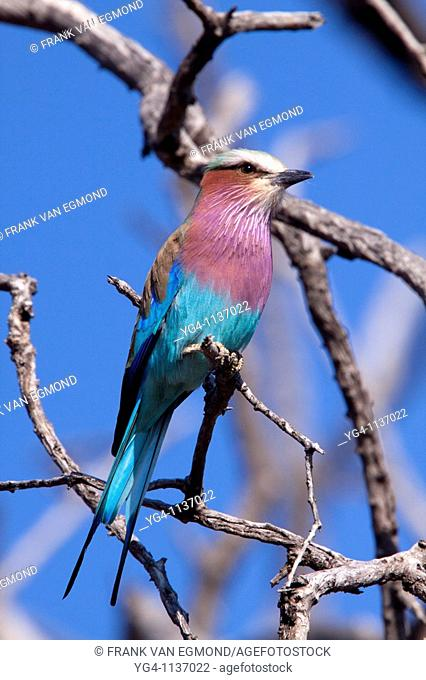 Lilac-breasted Roller Coracias Caudatus  June 2009, winter  Balule Private Nature Reserve, York section  Greater Kruger National Park, Limpopo, South Africa