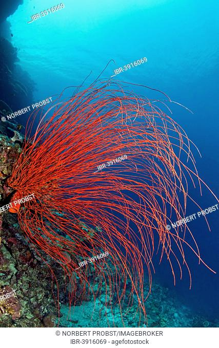 Red Whip Coral (Ellisella ceratophyta), Great Barrier Reef, UNESCO World Natural Heritage Site, Pacific Ocean, Queensland, Australia