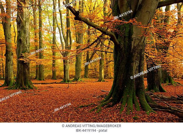 Old beech (Fagus sp.) trees in former wood pasture, autumn, backlight, Reinhardswald, Sababurg, Hesse, Germany