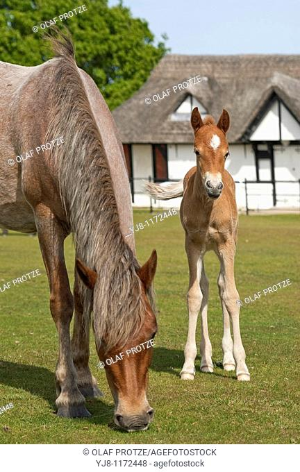 Half Wild New Forest Mare with her foal at the New Forest Wildlife Park near Lyndale, South East England