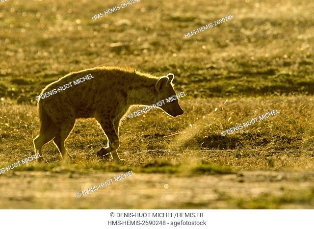 Kenya, Masai-Mara game reserve, spotted hyena (Crocuta crocuta)