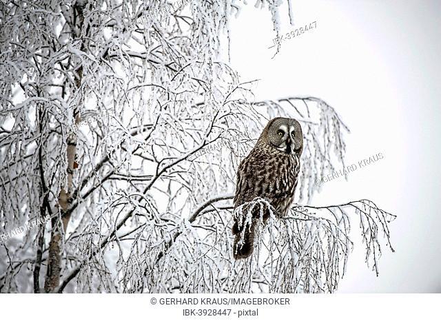 Great Grey Owl (Strix nebulosa), Oulu, Finland