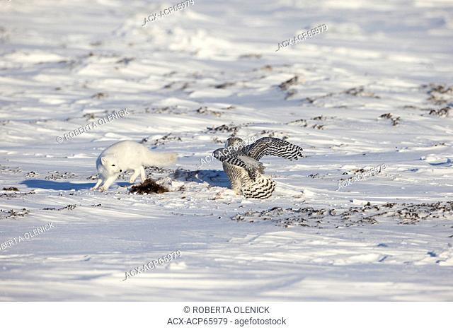 Arctic fox (Alopex lagopus) and snowy owl (Bubo scandiacus), with scrap of musk ox (Ovibos moschatus), west coast Hudson Bay, south of Arviat, Nunavut, Canada