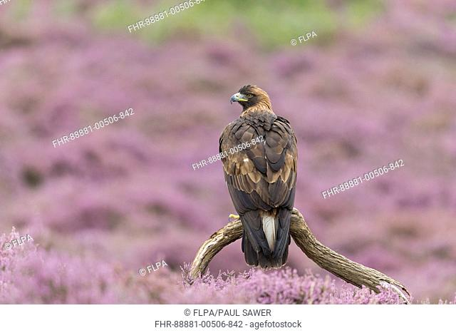 Golden Eagle (Aquila chrysaetos) adult, perched on branch among flowering heather, August, controlled subject