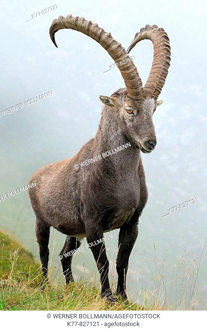 Alpine Ibex (Capra ibex), male/buck. Niederhorn, Switzerland