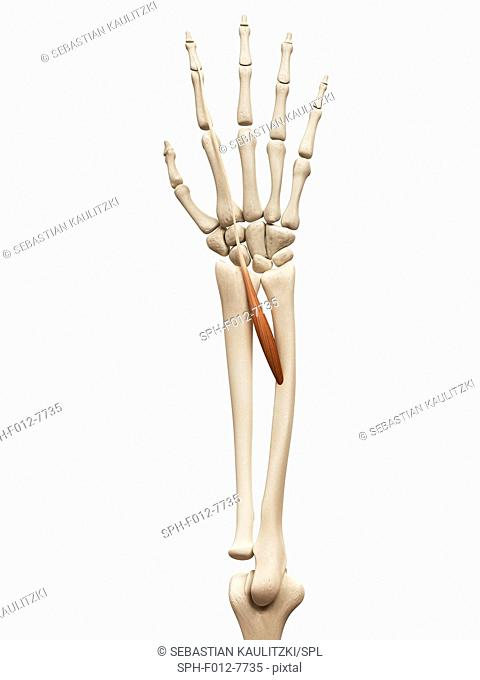 Human arm muscle (extensor indicis), illustration