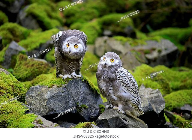 Snowy Owl, (Nyctea scandiaca), two young siblings, Scandinavia, Europe