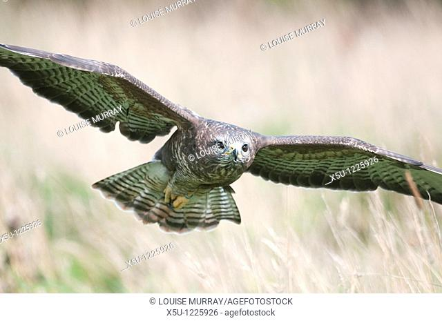 Common buzzard found throughout Europe and Asia to Japan  This bird of prey has a wingspan of up to 1 5 metres and mates for life  Usual prey is mice, rats