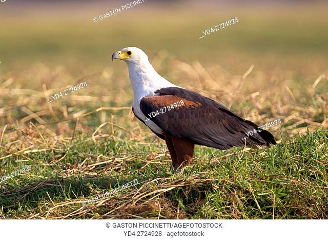 African Fish Eagle (Haliaeetus vocifer), Chobe River. Photographed from a boat. Chobe National Park, Botswana
