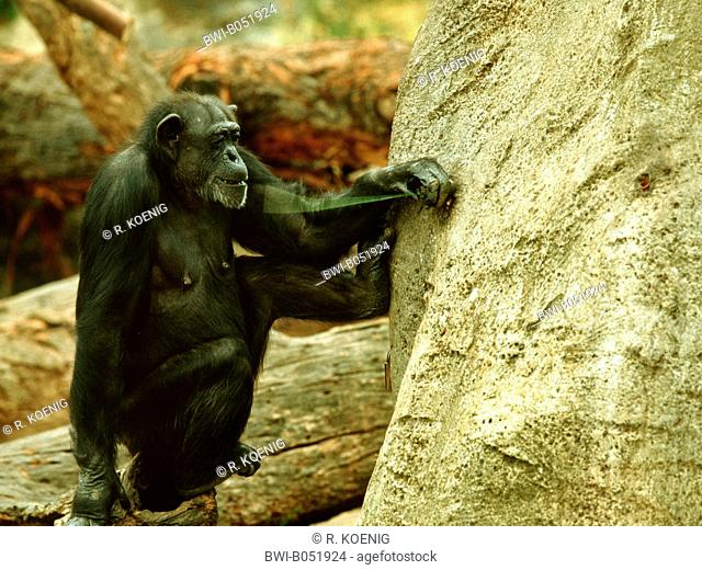 common chimpanzee (Pan troglodytes), Tool use by a chimpanzee, animal with wire at a artifical termite hill