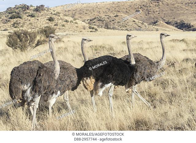South Africa, Upper Karoo, Ostrich or common ostrich (Struthio camelus), in the savannah, the male is black, the female is brown in color