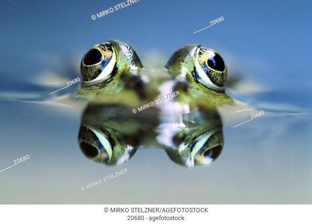 Water Frog (Rana esculenta)