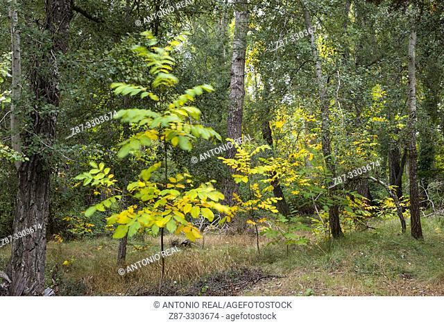White poplar (Populus alba) and Common Walnut (Juglans regia). La Mearrera. Almansa. Albacete