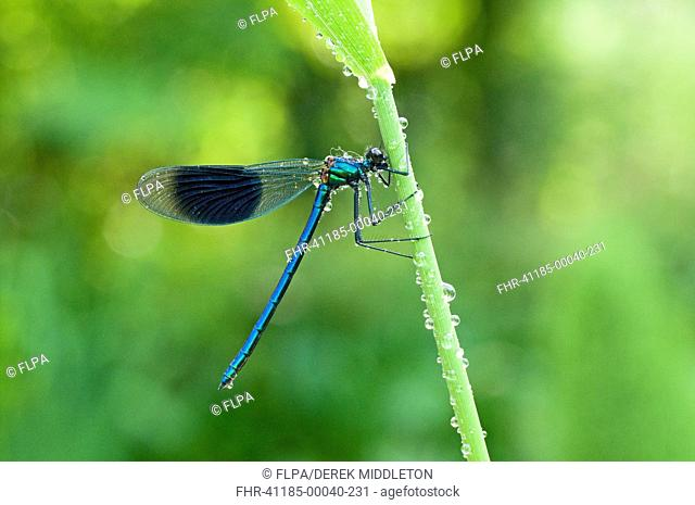 Banded Demoiselle Calopteryx splendens adult male, clinging to reed stem after rain, England, may