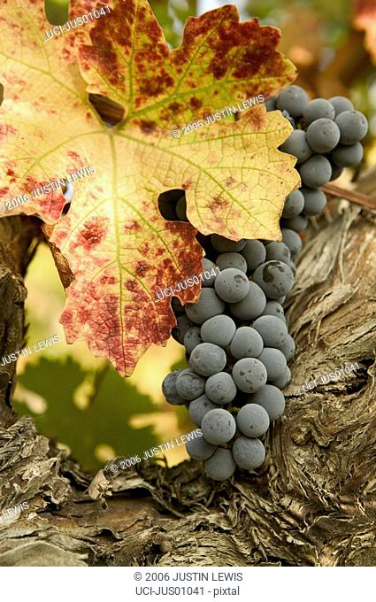Grape cluster and autumn leaf