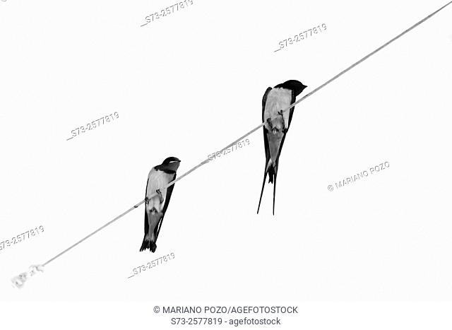 Couple of Swallow Hirundo rustica on a cable, Córdoba, Spain