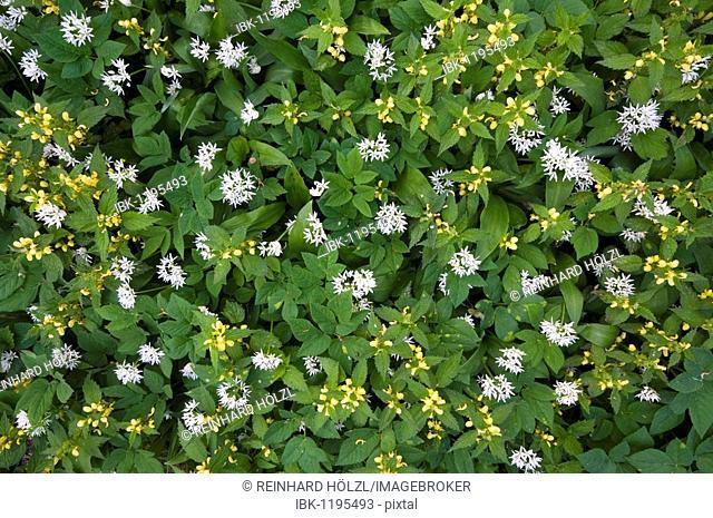 Yellow Archangel (Lamium galeobdolon) and Ramsons (Allium ursinum)